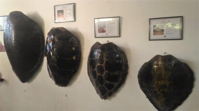 Cascos de tartarugas marinhas