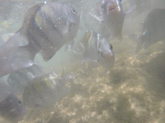 Peixes nas piscinas naturais